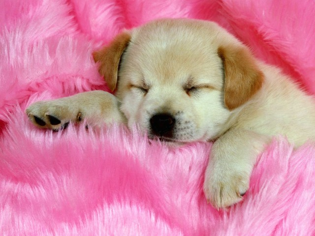Cute Sleeping Puppy Wallpaper