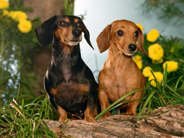 Dachshunds Dogs Winston and Maggie Wallpaper
