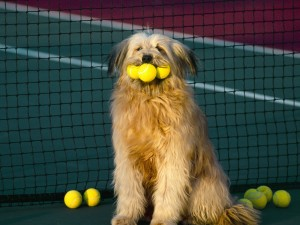 Dog Plays Tennis Wallpaper