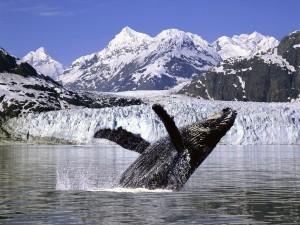 Humpback Whale Alaska Wallpaper