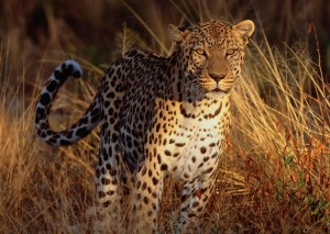 Leopard Eyeing Prey Wallpaper