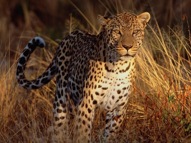 Leopard Eyeing Prey Wallpaper