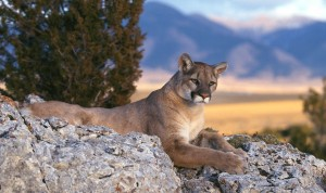 Mountain Lion Rocky Mountains Wallpaper