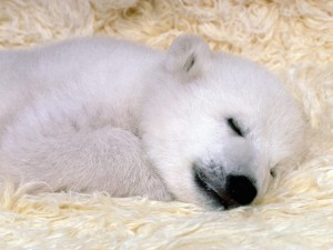 Polar Bear Dreaming Wallpaper