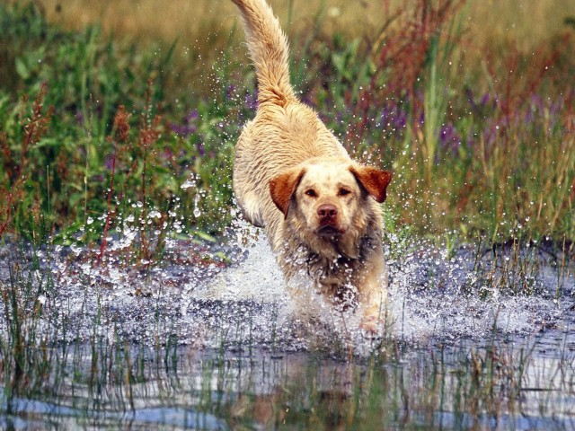 Yellow Labrador Wallpaper