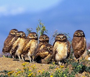 Burrowing Owls Wallpaper