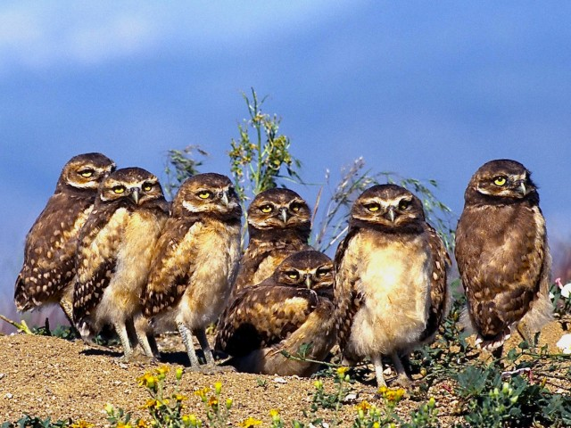 Burrowing Owls Wallpaper