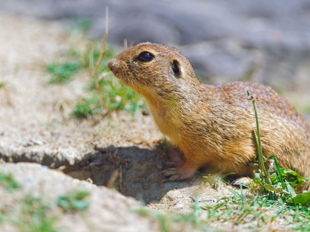 Gopher Animal Wallpaper
