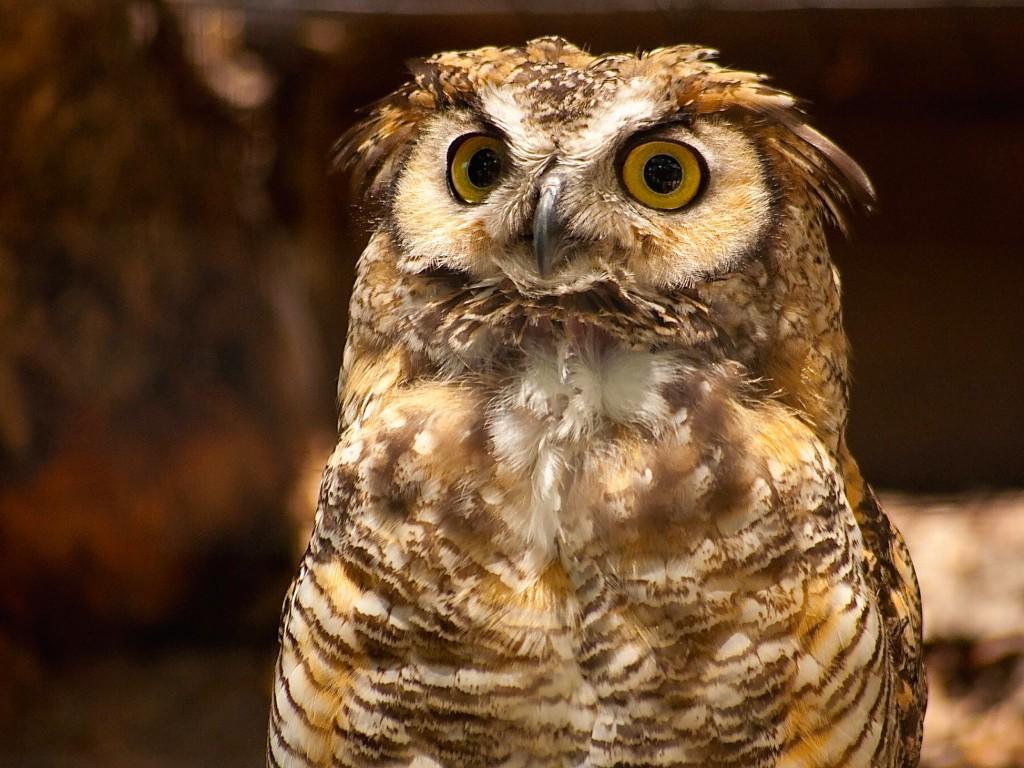 great horned owl wallpaper free hd downloads