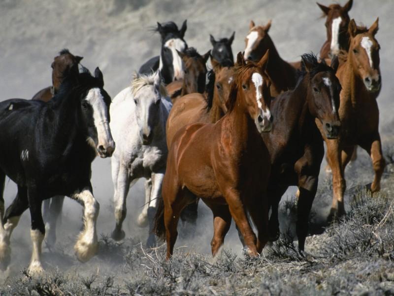Horse Stampede Wallpaper