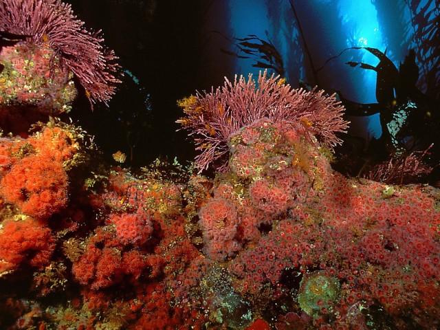 Kelp Forest-San Miguel Island Wallpaper