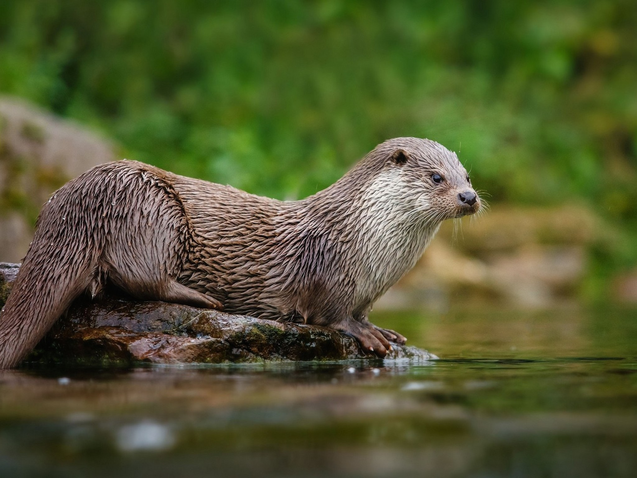 North American River Otter Wallpaper | Free HD Downloads