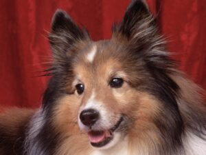 Sweetheart Sheltie Wallpaper