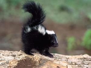 Baby Skunk Stinker Wallpaper