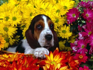 Basset Hound Wallpaper