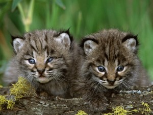 Bobcat Kittens Wallpaper