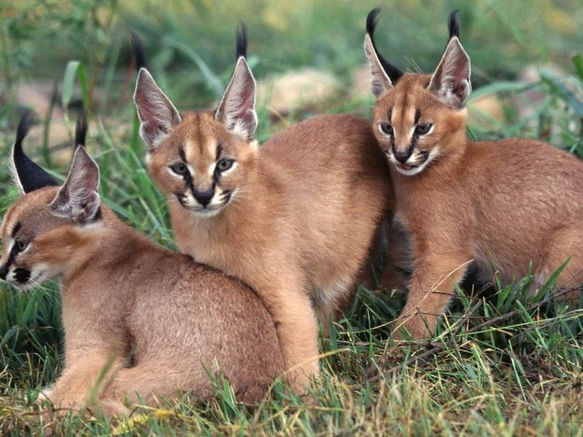 Caracals Wallpaper