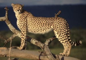 Cheetah Kenya Wallpaper