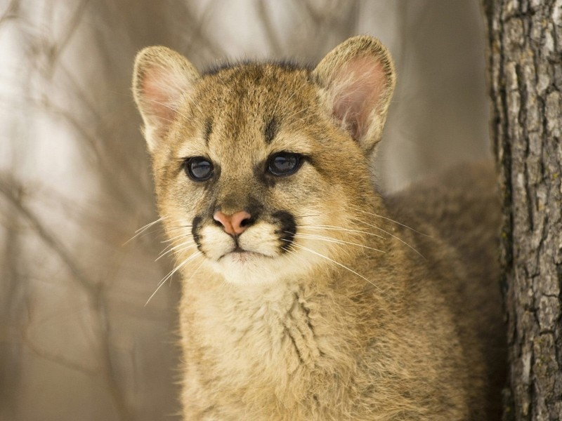 Cougar Cub Wallpaper