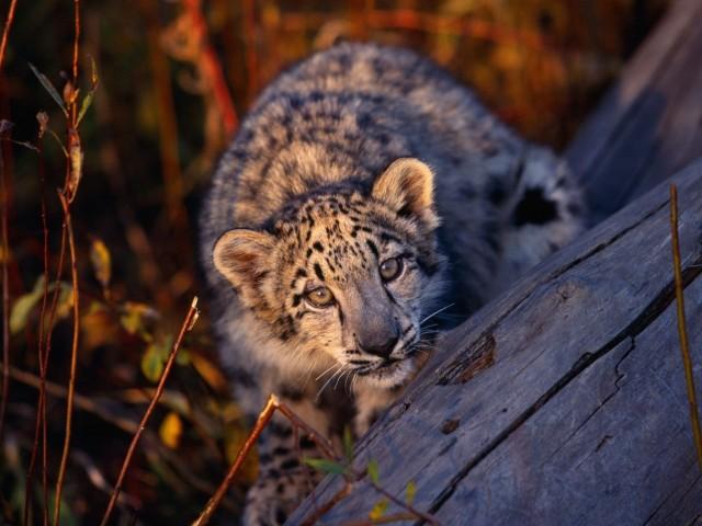 Cute Baby Leopard Cub Wallpaper