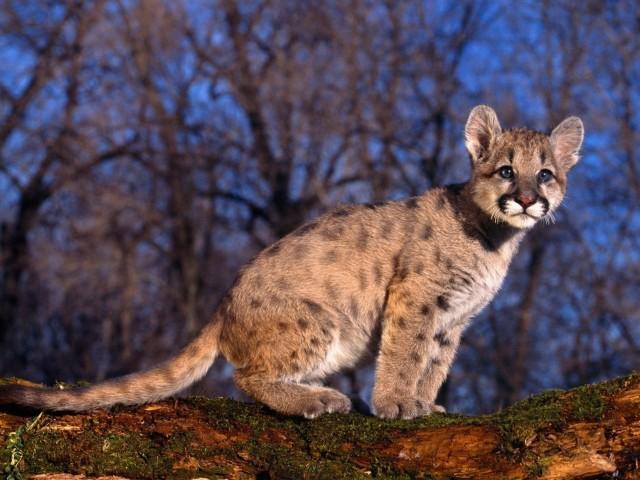 Cute Cougar Cub Wallpaper