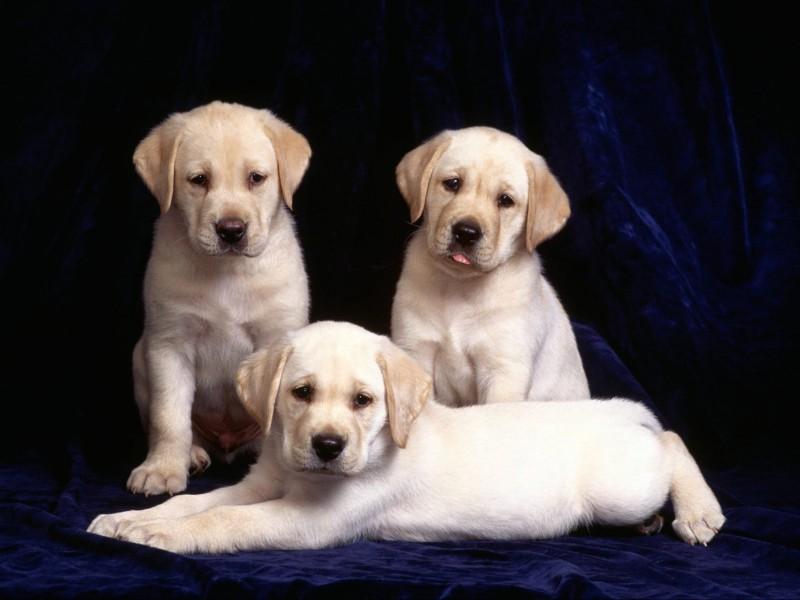 Cute Labrador Puppies Wallpaper