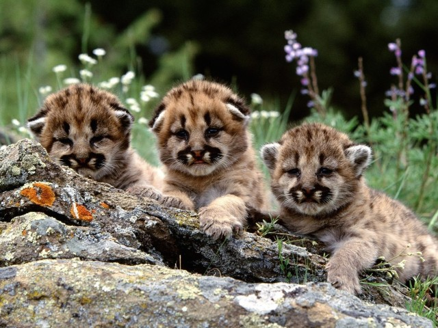 Cute Mountain Lion Cubs Wallpaper