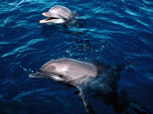 Dolphins Frolicking Honduras Wallpaper
