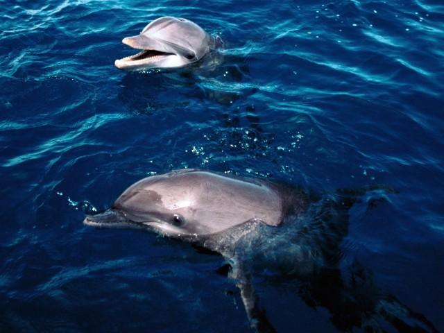 Dolphins Frolicking Honduras Wallpaper