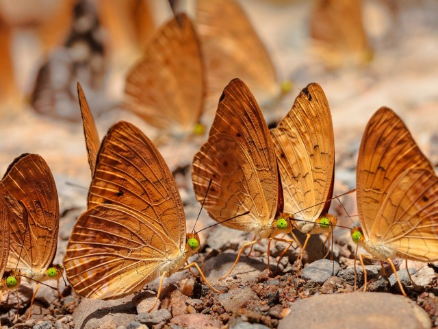 Gold Butterflies HD Wallpaper