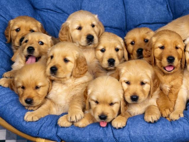 Golden Retriever Puppies Wallpaper