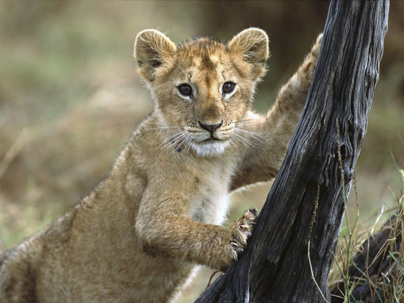 Kenya 3 Month Old Lion Cub Wallpaper