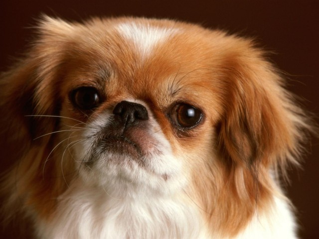 Pekingese Dog Wallpaper