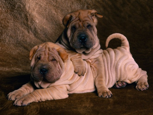 Shar Peis Wallpaper