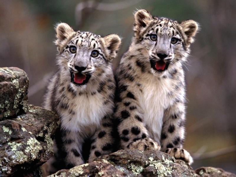 Snow Leopard Cubs Wallpaper
