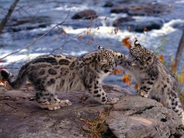 Snow Leopards King Of The Hill Wallpaper