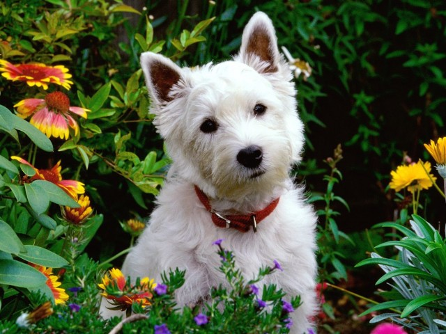West Highland Terrier Wallpaper