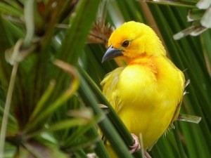 African Golden Weaver Wallpaper