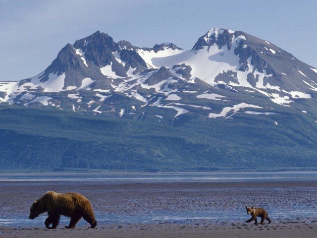 Alaska Bears Foraging Wallpaper