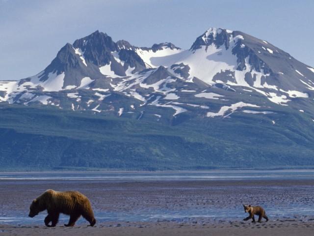Alaska Bears Foraging Wallpaper