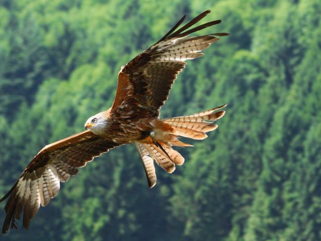 Bald Eagle Flying Wallpaper