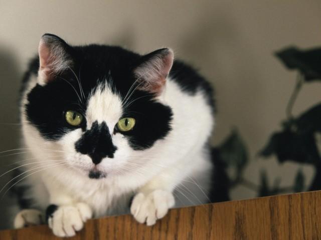 Bicolor Cat Wallpaper