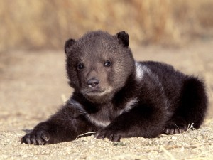 Black Bear Cub Resting Wallpaper
