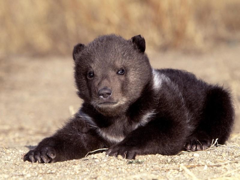 Black Bear Cub Resting Wallpaper