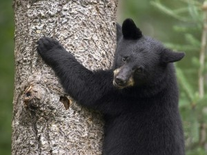 Black Bear Cub Scaling Tree Wallpaper