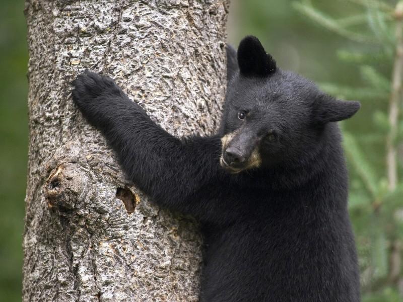 Black Bear Cub Scaling Tree Wallpaper