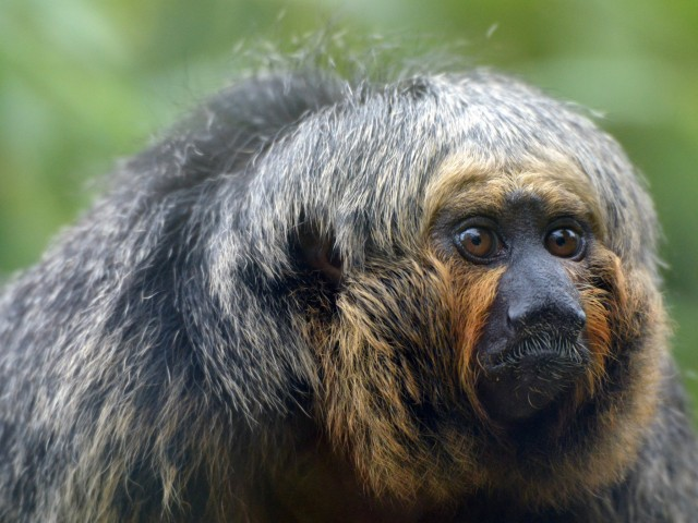 Brazilian Saki Monkey Wallpaper