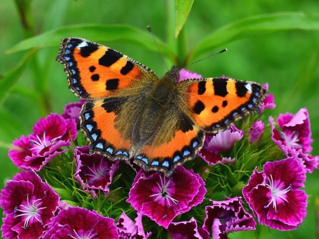 Butterfly Alights Wallpaper