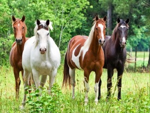 Equestrian Herd Wallpaper