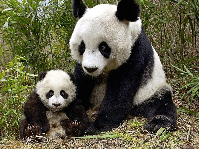 Giant Pandas, Wolong Nature Reserve Wallpaper